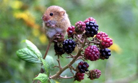 harvest-mouse-007